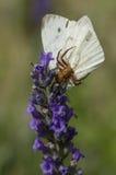 Спайдер рака на цветке Стоковые Фотографии RF