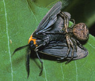 Спайдер рака с prey стоковое фото