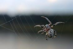 Спайдер, diadematus Araneus Стоковые Изображения