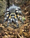 Спайдер (theraphosidae) Стоковая Фотография RF