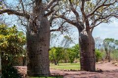 Спарите деревьев boab в саде стоковое изображение rf