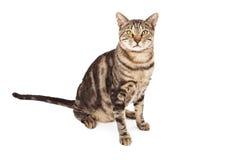 Спасенный дикий кот с Eartipping Стоковые Изображения RF