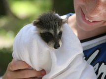 спасенный raccoon младенца стоковые фото