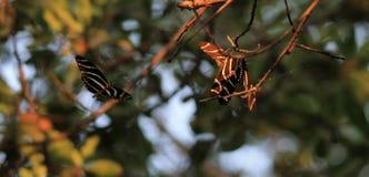 Спать бабочки Стоковое Фото