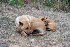 Спать бездомной собаки и щенка ленивый на холме Стоковое Изображение RF