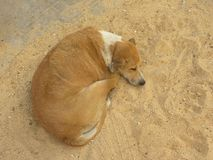 Спать бездомной собаки цвета Брайна Стоковая Фотография