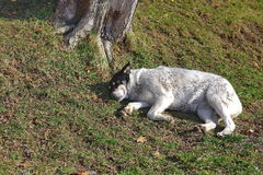 Спать бездомной собаки Стоковые Фотографии RF