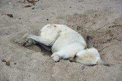 Спать бездомных собак Стоковые Фото