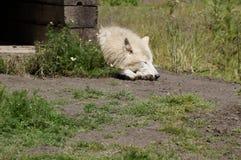Спать белого волка Стоковые Фото