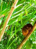 Спать более tarsier стоковое фото rf