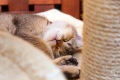 Спать великобританского котенка Брауна сладкий завитый вверх стоковая фотография