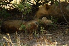 Спать гордости льва Стоковое Изображение RF