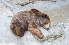 спать гризли медведя Стоковое Изображение RF