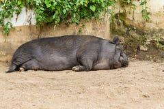 Спать животного свиньи Стоковое Изображение