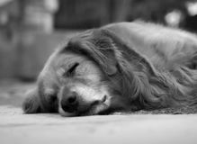 спать золотистого retriever Стоковое Изображение