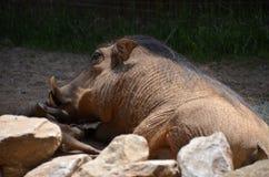 Спать дикого кабана Стоковые Изображения RF