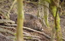 Спать дикого кабана Стоковая Фотография RF