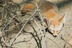 Спать лисы Fennec Стоковое фото RF