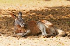 спать кенгуруа Стоковые Фото