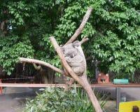 Спать коалы Стоковое Фото