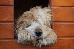Спать кокерспаниеля Стоковая Фотография RF