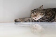 Спать коротких волос кота американский Стоковое Фото