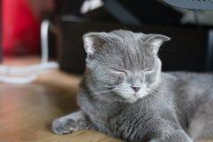 Спать коротких волос кота великобританский Стоковая Фотография RF