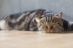 Спать коротких волос симпатичного кота американский Стоковые Изображения