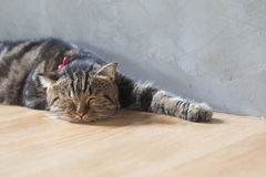 Спать коротких волос симпатичного кота американский Стоковая Фотография