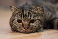 Спать коротких волос симпатичного кота американский Стоковые Фото