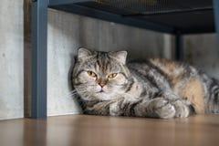 Спать коротких волос симпатичного кота американский Стоковое Изображение