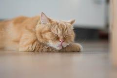 Спать коротких волос симпатичного кота американский Стоковое фото RF