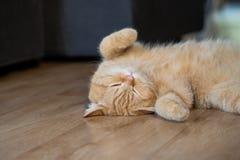 Спать коротких волос симпатичного кота американский Стоковые Фотографии RF