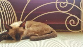 спать кота сиамский Стоковое Фото