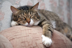 спать кота Стоковое Изображение