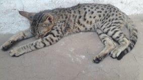 Спать кота Rudi красивый милый стоковое изображение rf