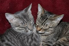 Спать котят Tabby Стоковые Фото
