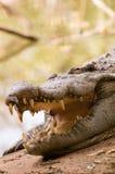 спать крокодила Стоковое фото RF