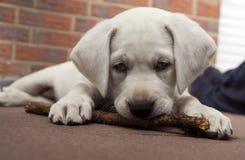 Спать Лабрадор выслеживает склонность щенка на стене на заходе солнца Стоковое Фото