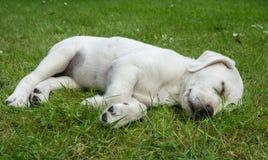 Спать Лабрадор выслеживает склонность щенка на стене на заходе солнца Стоковые Изображения