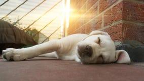 Спать Лабрадор выслеживает щенка на заходе солнца лежа на поле Стоковое Изображение