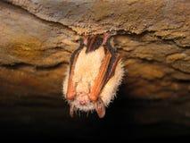 спать летучей мыши Стоковые Фотографии RF