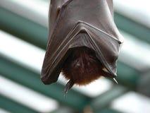 спать летучей мыши Стоковое Изображение