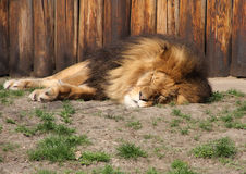 спать льва Стоковое Изображение