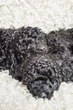 Спать 3 малый курчавый черный щенят пуделя Стоковые Изображения