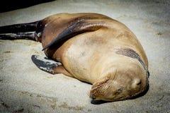 Спать морсого льва стоковое фото