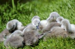 Спать молодых лебедей стоковая фотография