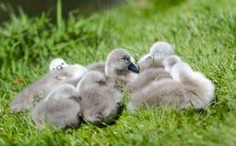 Спать молодых лебедей стоковая фотография rf