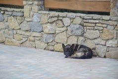 Спать немецкая овчарка Стоковые Фото