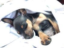 спать носа s макроса изображения фокуса собаки dof красотки отмелый Стоковое фото RF